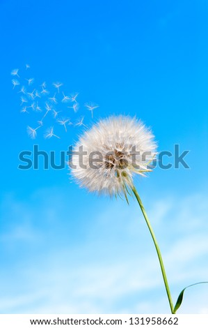 seeds of umbrellas fly with dandelion on the background of blue sky - stock photo