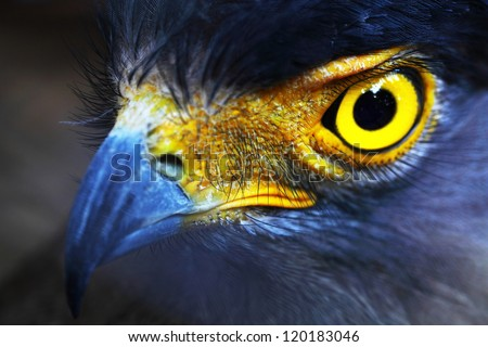 Serpent-Eagle close-up face.(Spilornis cheela) - stock photo