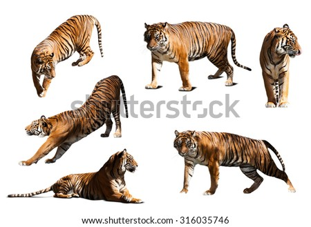 set of tigers. Isolated  over white background with shade - stock photo
