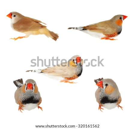 set zebra finch male, isolated on white background with clipping path, Taeniopygia guttata - stock photo