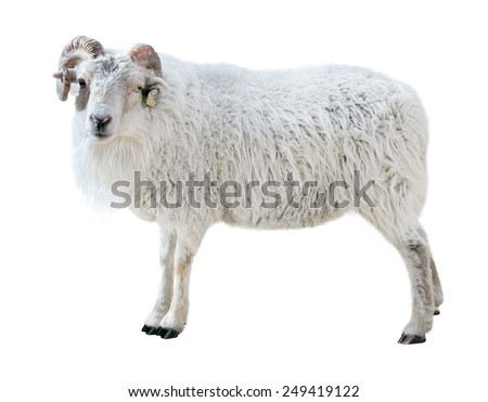 Sheep with thick hair and twisted horns looks in the picture. Isolated over white background - stock photo