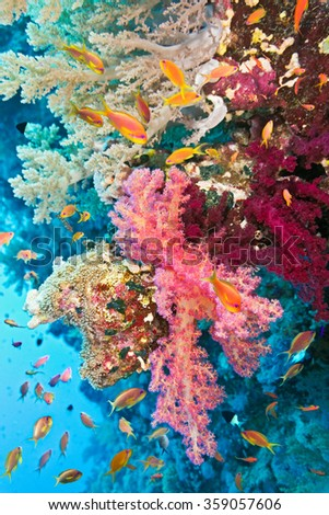 Shoal of anthias fish on the soft coral reef  - stock photo