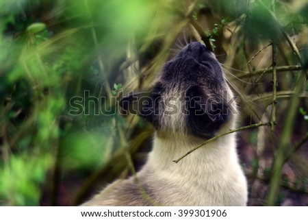 Siamese cat hiding in the bushes  - stock photo