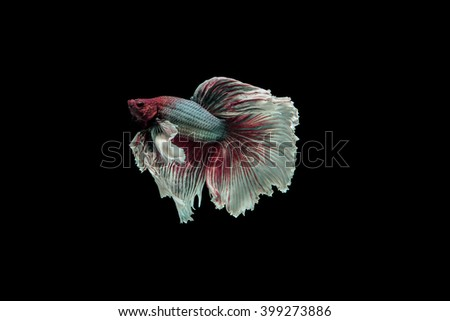 siamese fighting fish, isolated on black background. select focus beta fish - stock photo
