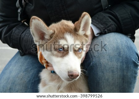 Siberian Husky puppy in the park