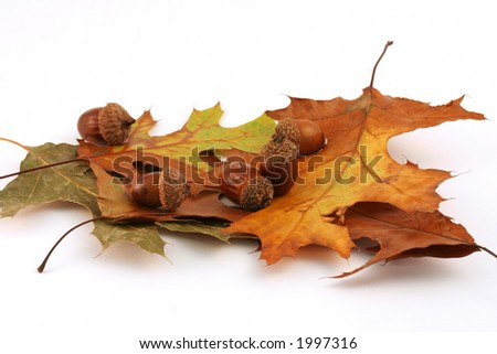 """""""Signs Of Fall"""" Colorful fall display, acorns and oak leaves. - stock photo"""