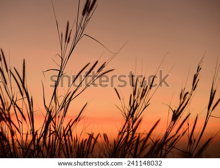 silhouette reed or glass on sunset sky background  - stock photo