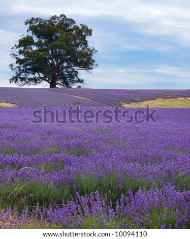 single tree in a lavender field - stock photo