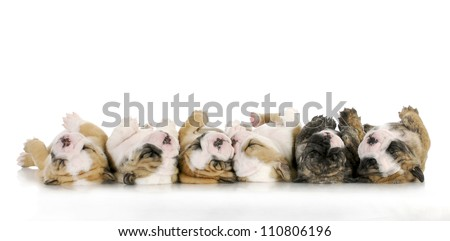 sleeping puppies - litter of sleeping english bulldog puppies on white background - 4 weeks old - stock photo
