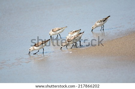 Small flock of Semipalmated Sandpipers feeding at a beach in Panama - stock photo