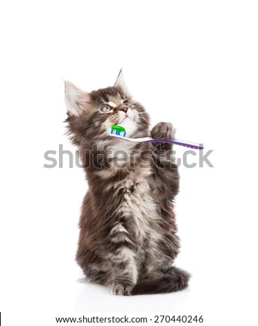 small maine coon cat with toothbrush,. isolated on white background - stock photo