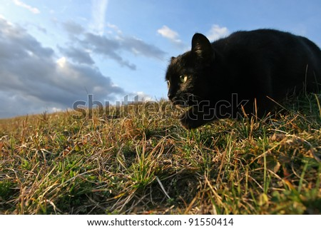 Sneaking cat. 	Black domestic cat on the meadow is sneaking to hunt for prey - stock photo