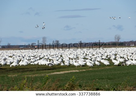 Snow Geese Resting During Migration South in Fall - stock photo