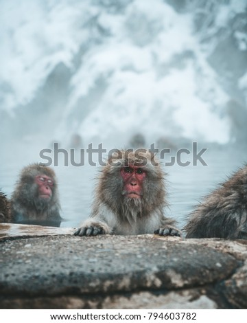 Snow Monkey Stare in Nagano, Japan