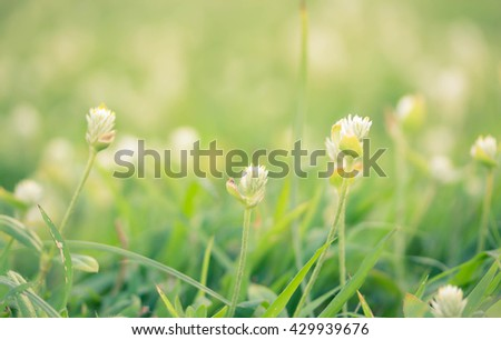 soft focus style of beautiful poaceae grass flower