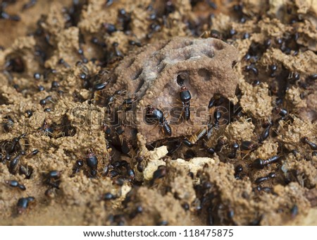 soldier termite of soil eaters