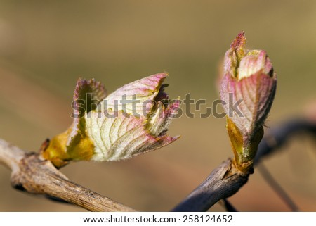 some first leaves of the grapes, grown in a spring season - stock photo