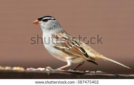 song sparrow - stock photo