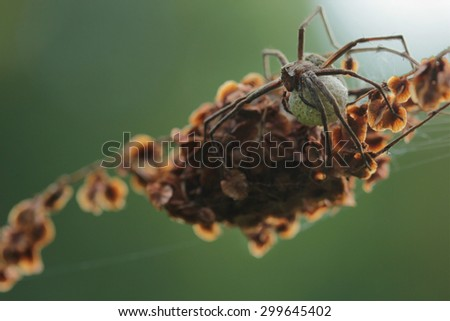 Spider with egg sack - stock photo