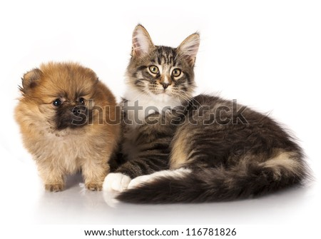 Spitz puppy and kitten breeds Maine Coon, Cat and dog