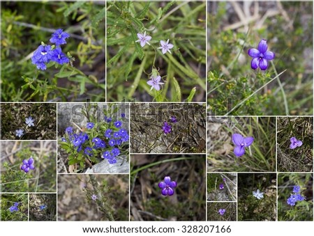 Splendid array of purple and blue  wildflowers growing in spring in remnant bushland  in Manea Park , Bunbury, Western Australia including  enamel orchids, tassels, blue lady orchids, purple flag  . - stock photo