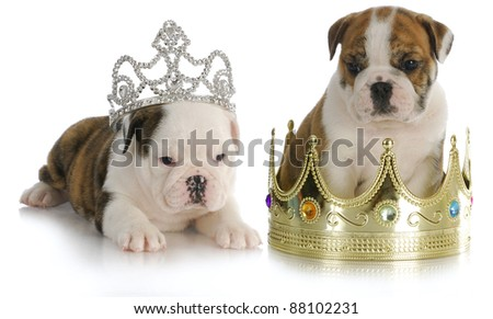 spoiled puppies - english bulldog puppies with crown and tiara on white background - stock photo