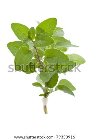 Sprig of fresh Oregano, isolated - stock photo