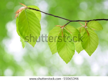 beech sprouts beech tree stock images royalty free images vectors shutterstock