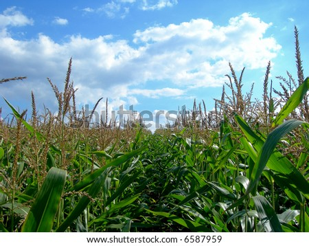 Spring field with lush green corn and forest