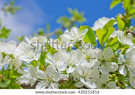 spring landscape. The flowering cherry tree. Spring blooming garden. Small delicate white flowers in spring, blue sky - stock photo