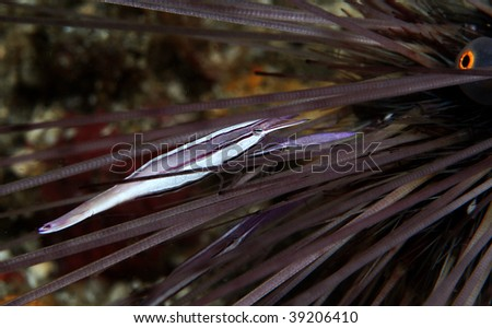 (Stegopontonia commensalis) a sea urchin shrimp that lives amongst the spines of sea urchin for protection and food, the host will also get some cleaning in return...a mutualism living in pair... - stock photo