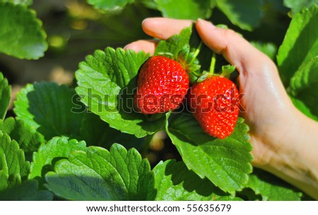 strawberry north chiangmai thailand - stock photo