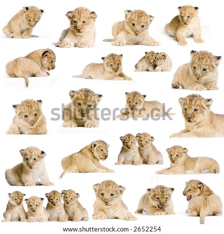 20 studio Shots of Lion Cubs in different positions, isolated on a white background. All my pictures are taken in a photo studio. - stock photo