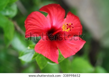 subtropical and tropical flowering plants Hibiscus widely known as rose mallow - stock photo
