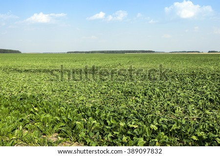 sugar beet sprouts that wilted during the drought, problems with the harvest, close-up - stock photo