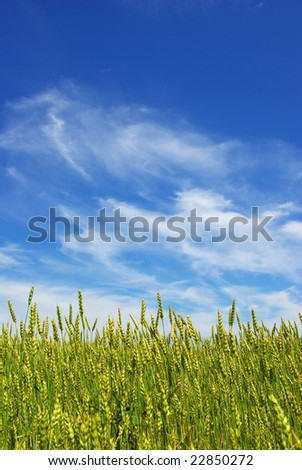 summer corn with a blue sky background