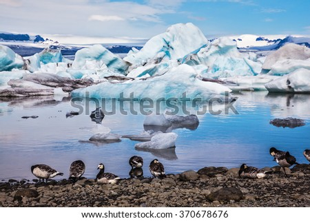 Summer in Iceland. Magnificent summer morning in ocean Ice lagoon with floating ice floes. On coastal edge flock of birds - brents of Branta leucopsis