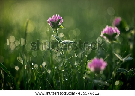 Summer meadow with cloverand dew drops. Flower field on sunny day. - stock photo