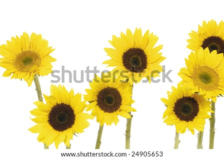 7 sunflower isolated on white background