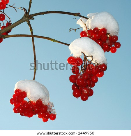 Sunny day. The snow has dropped out. The beginning of winter.  Berry  guelder-rose red. - stock photo