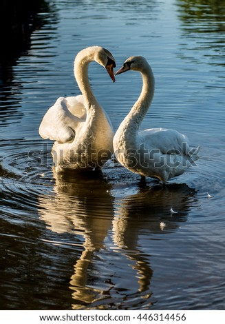 Swans at the city pond - stock photo