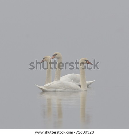 swans on the lake on foggy morning