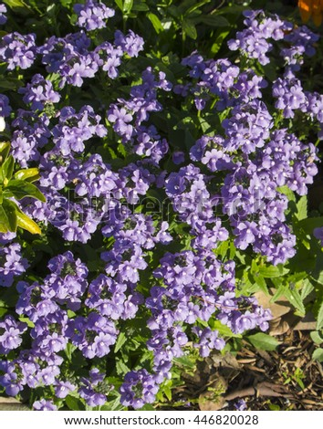Sweetly scented mauve flowers nemesia denticulata stock photo sweetly scented mauve flowers of nemesia denticulata confetti a perennial or sub shrub of bushy mightylinksfo