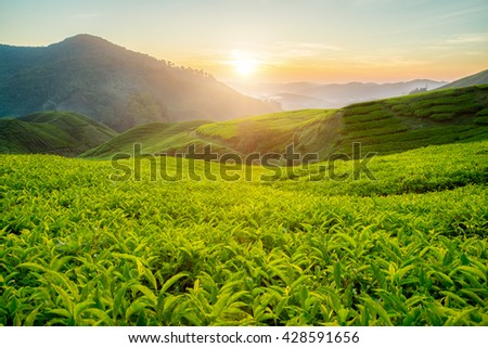 Tea plantation in Cameron highlands, Malaysia.   - stock photo