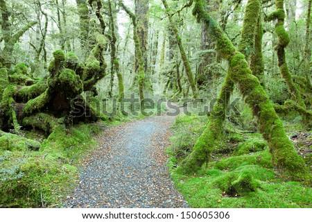 Temperate rain forest, Fiordland National Park, South Island,  New Zealand.Track -  Lake Gunn Nature Walk - stock photo