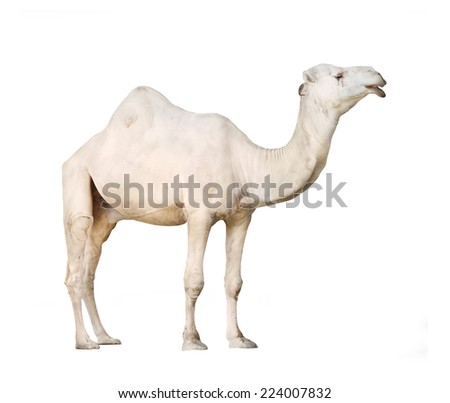 The Arabian camel or The Dromedary (Camelus dromedarius) isolated on white background. - stock photo
