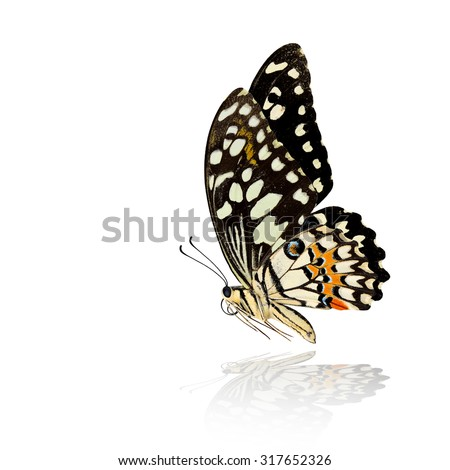 The beautiful flying Common Lime Butterfly or Lemon Butterfly (Papilio demoleus) with very nice wings span and shadow reflection on white background - stock photo