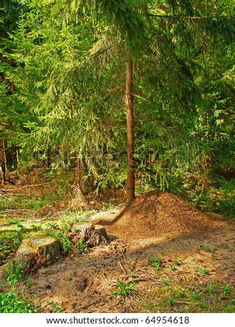 The big ant hill in coniferous wood - stock photo