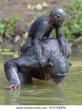 The Bonobo ( Pan paniscus) standing on her legs in water with a cub on a back and drinks water. Democratic Republic of Congo. Africa - stock photo
