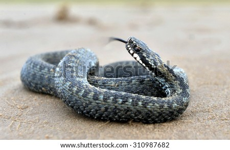 . The common European adder or common European viper, is a venomous viper species that is extremely widespread. - stock photo